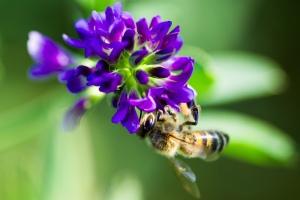 abeille-sur-fleur-luzerne-gnis-paul-dutronc